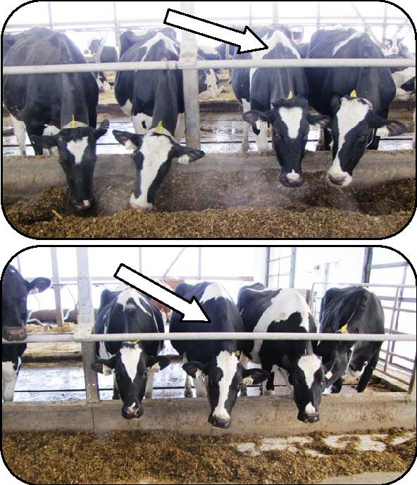 Figure 29 includes a top and a bottom photo looking at four Holstein cows eating at a feed bunk with a post-and-rail restraint. The upper photo shows the point of contact (near the withers) between the rail and the cows' necks with the rail located 48 inches above the cow alley.  The lower photo shows the point of contact midway between a cow's poll and her withers with the rail located about 40 inches above the alley. The lower location is preferred because there is less risk of injury to more sensitive areas of the neck.