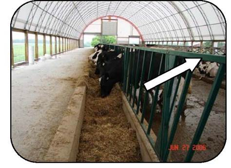 Figure 30 shows a feed bunk with a slant bar restraint. The top horizontal bar is higher than a cow's withers to avoid contact and injury. The feed bunk has a concrete front to keep feed close to the cows. The slant bar restraint prevents cows from being tipped into the feed bunk and risking entrapment