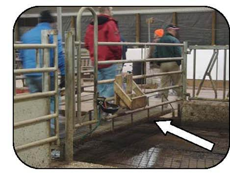Figure 37 shows men walking across a foot bridge that spans a cow alley. The bridge keeps boots out of manure when crossing cow alleys.