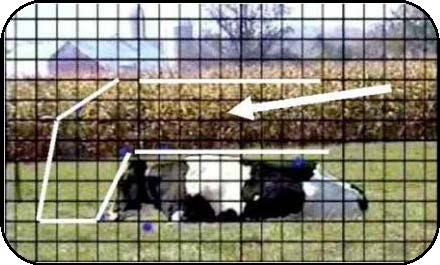 Figure 5 shows a left-facing side view of a Holstein cow lying in an upright position in a pasture. A grid is overlain on the photo. White lines have been drawn above and forward of the resting cow to show the forward, downward and vertical space the cow will occupy while rising.
