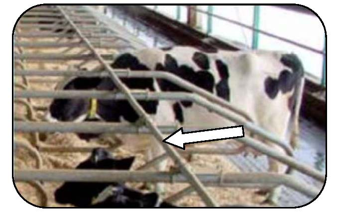 Figure 6 shows a left-facing side view of a Holstein cow standing in a free stall. Her standing position is straight or parallel to the stall divider loops because the forward location of the neck rail allows her to stand with all four feet on the bed.