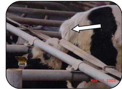 Figure 7 is a close-up photo of the neck of a cow making contact with a neck rail and neck strap in a fee-stall. The vertical height of the neck restraints is lower in this traditional stall compared to new recommendations.  The location may lead to repetitive trauma and neck injuries.