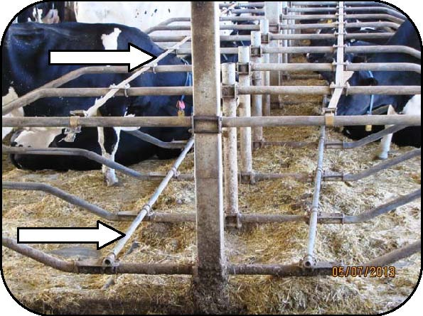 Figure 8 shows freestalls with unique modifications by the owner. The neckrail was removed from the top pipe of the loop (stall divider) and relocated to the top of the bottom pipe of the divider. A nylon strap was installed on the top pipe of the loop in the location previously occupied by the neck rail.