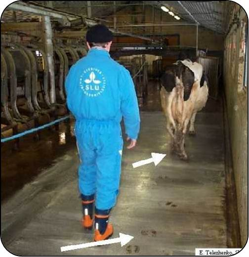 Fig10b-A cow's foot placement and walking speed change with confidence in the flooring or lighting in a barn.