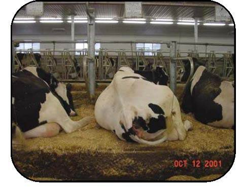 Figure 10 is a rear view of three Holstein cows lying in their tie stalls. The cow in the left stall is resting with her head along her flank, a normal resting posture made possible because of a longer tie chain. The longer chain also provides more freedom to rise, groom and show visible signs of estrous. The photo also shows ample width of stalls with space between the three cows for freedom to rest in normal positions.
