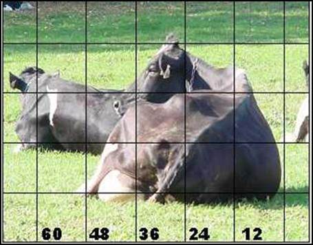 Figure 4 shows a rear view of a Holstein cow lying in an upright position on her right side while on pasture.  A grid of squares has been overlain with the numbers 12, 24, 36, 48 and 60 listed along the horizontal axis from right to left.  From the image, the cow appears to occupy a space about 52 inches wide and this is called her imprint width.