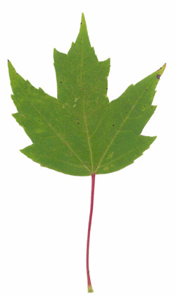 Red Maple (Acer rubrum) - summer colour