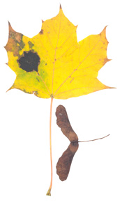 Norway Maple (Acer platanoides) - fall colour.