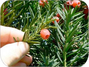 Figure 2 is a photo of the reddish, fleshy, cup-shaped, berry-like fruit of the yew plant.