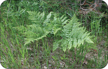 Bracken fern can grow in a variety of conditions, unlike other ferns.