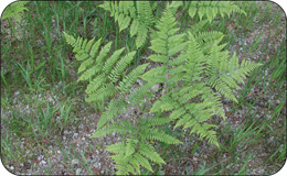 A photo of bracken fern (Pteridium aquilinum).