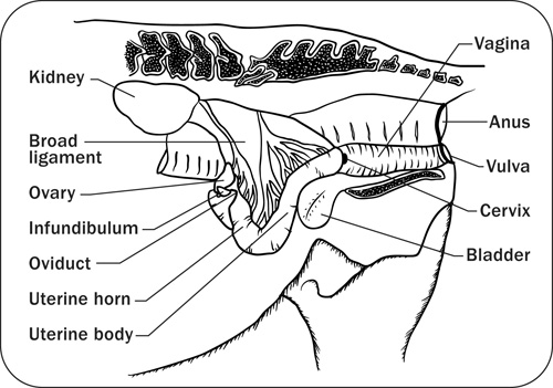 Anatomy physiology and reproduction in the mare diagram depicting the sagittal view of the mare reproductive structures ccuart Image collections