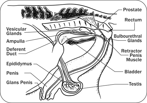 Anatomy Physiology And Reproduction In The Stallion