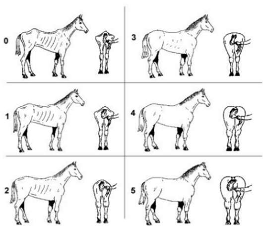 A chart showing the body conditions of horses from Score 0 (poor) to Score 5 (fat)