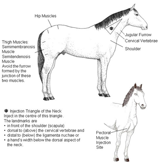 This drawing depicts the most common intramuscular injection points of the horse.