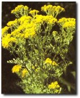 Poisoning of horses by plants tansy ragwort mightylinksfo