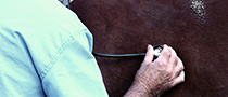 Picture of a stethoscope on a horse belly