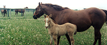 Picture of a horse and foal on pasture