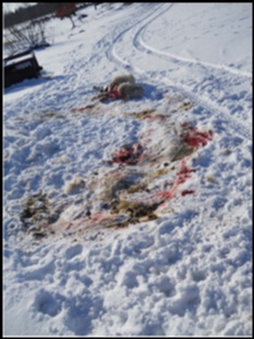 A picture of the kill site and animal.