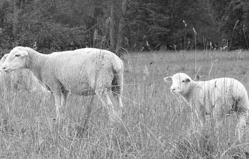 Choosing Breeds for Producing Profitable Market Lambs