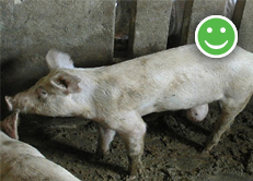 Guidance on Pigs with Hernias