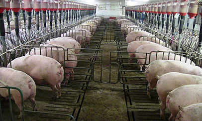 Sows lined up at a feed trough separated by short, non-gated stall dividers.