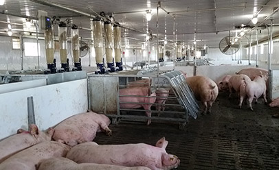 Sows lying on slatted floor or in an electronic sow feeder.