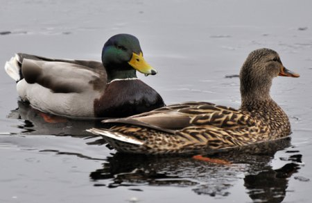 Two ducks swimming on a pond.