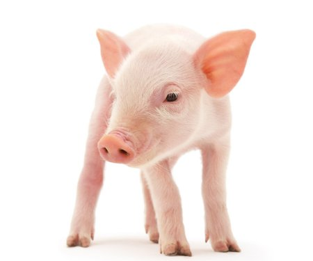 Piglet standing on white background