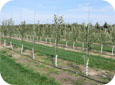 A drip irrigation system supplies a small amount of near the base of each tree.
