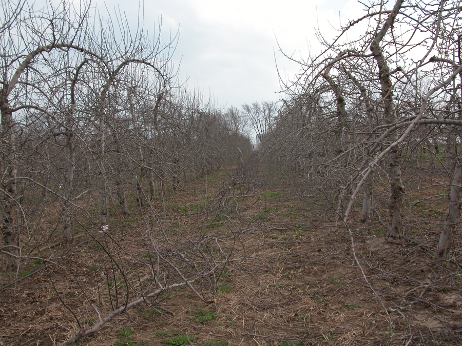 Training systems for the new apple orchard - The most profitable orchards ...