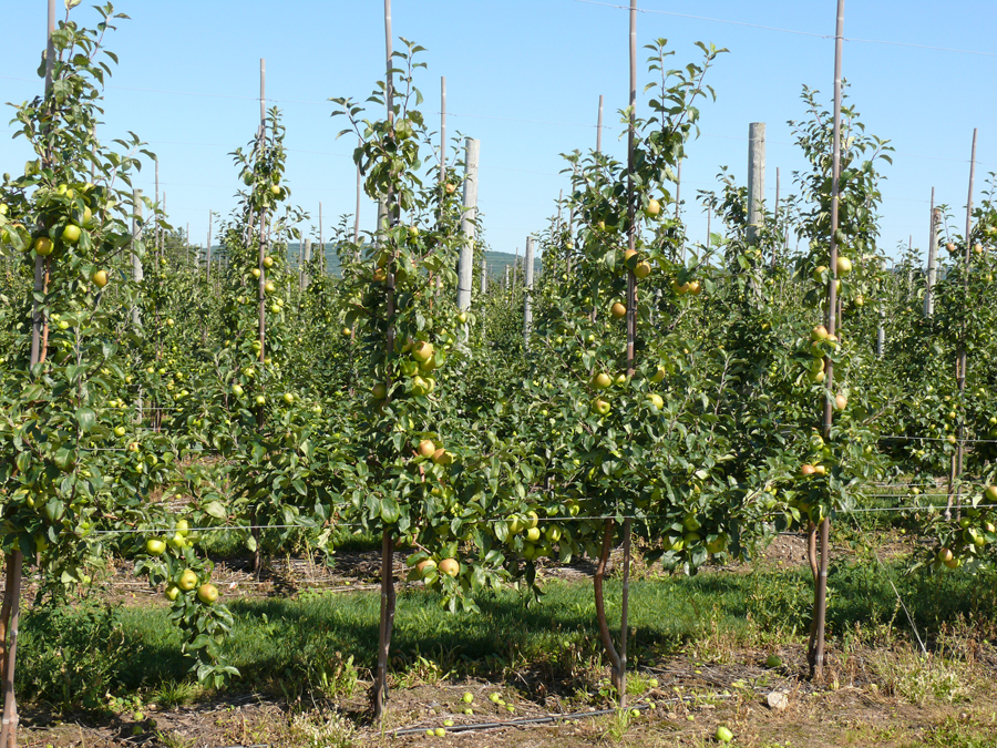 Training Systems for the New Apple Orchard