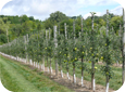 The Tall Spindle system produces high early yields, due to high density and feathered trees.