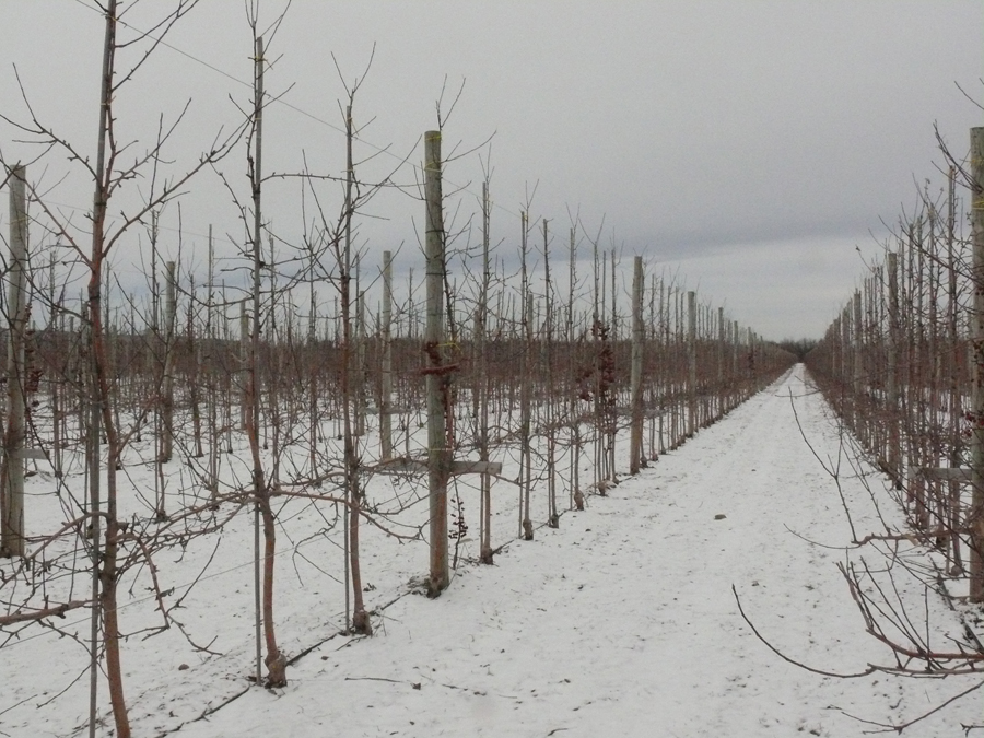 Planting New Apple Orchards In Ontario